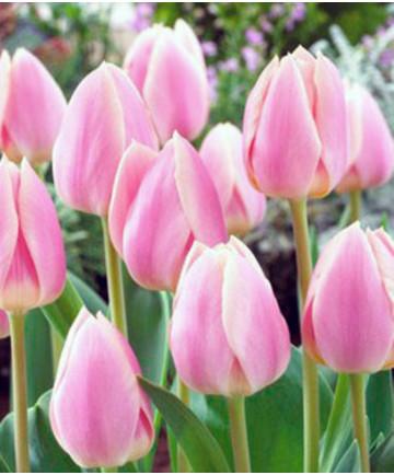 Tulip 'Apricot Delight' -100pk