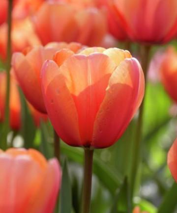 'Apricot Impression' -100pk