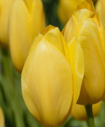 Tulip 'Big Smile' -100pk