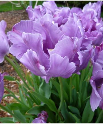 Tulip 'Blue Parrot' -100pk