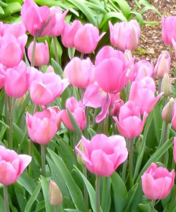 Tulip 'Don Quichotte' -100pk