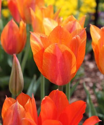 Tulip 'El Nino' -100pk