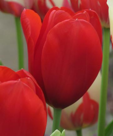 Tulip 'Kingsblood' -100pk
