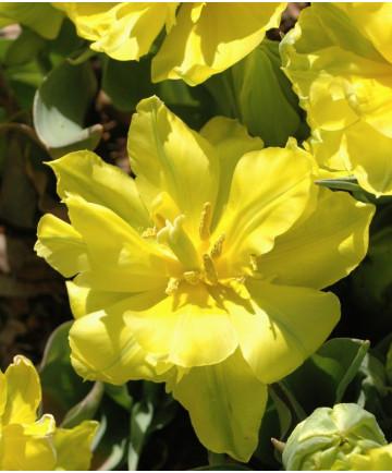 Tulip 'Monte Carlo' -100pk