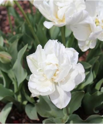 Tulip 'Mount Tacoma' -100pk