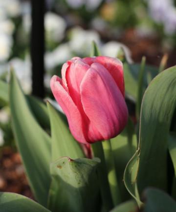 Tulip 'Pink Impression' -100pk