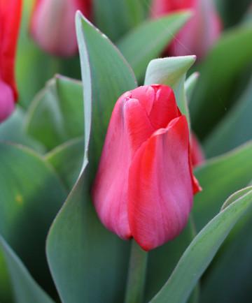 Tulip 'Red Impression' -100pk