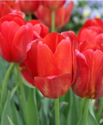 Tulip 'Sky High Scarlet'-100pk