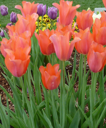 Tulip 'Temple of Beauty'-100pk