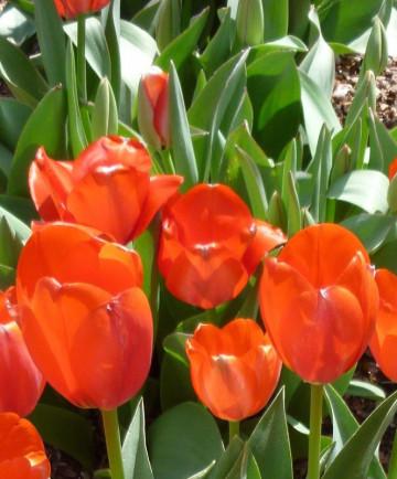 Tulip 'Temple'sFavourite'100pk
