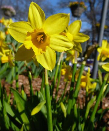 Narcissus 'Tete-a-Tete' -100pk
