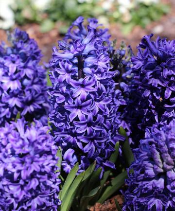 Hyacinth 'Blue Jacket'- 50pk