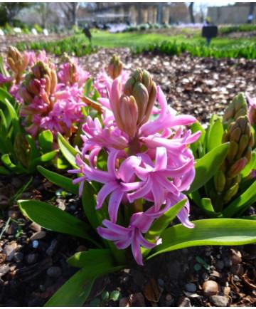 Hyacinth 'Pink Peart' - 50 pk