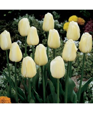 Tulip 'Ivory Floradale' -50pk