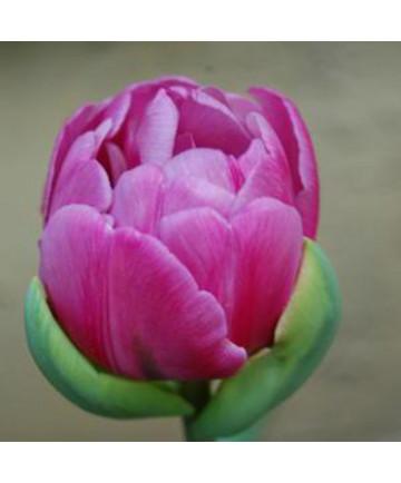 Tulip 'Abigail' -50pk