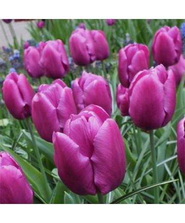 Tulip 'Purple Prince' -50pk