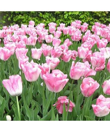 Tulip 'Marjolein Bastin' -50pk