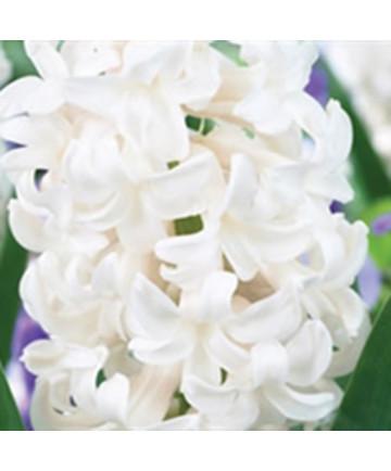 Hyacinth ' Antarctica'- 50 pk