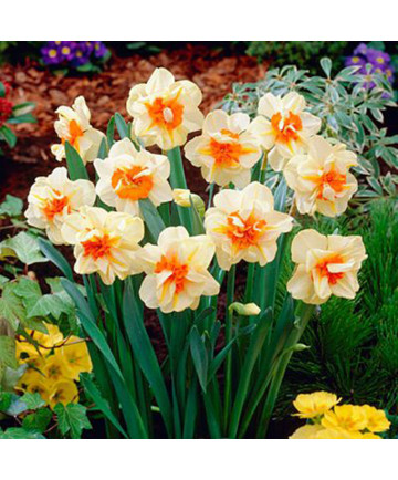Narcissus 'Double Fash' -50pk