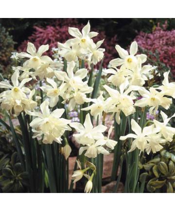 Narcissus 'Thalia' -50pk