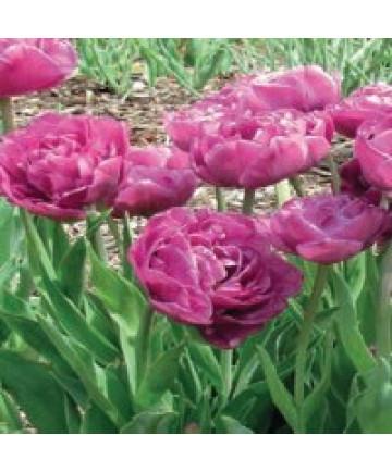 Tulip 'Backpacker' -50pk