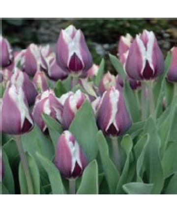 Tulip 'Chansonnette' -50pk