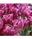Tulip 'Passionale' -50pk