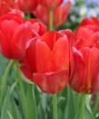 Tulip 'Sky High Scarlet'-50pk