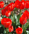 Tulip 'World's Fire' -100pk