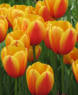 Tulip 'World's Peace' -100pk