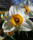 Narcissus 'Barrett Browing50pk