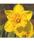Narcissus 'Carlton' -50pk