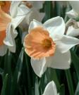 Narcissus 'Chromacolor' -50pk