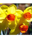 Narcissus 'Monal' -50pk