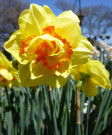 Narcissus 'Tahiti' -Pk of 50