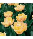 Tulip 'Crème Upstar' -50pk