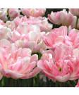 Tulip 'Finola' -50pk
