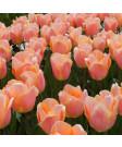 Tulip 'Apricot Beauty' -50pk