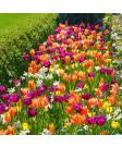 Tulip 'Dallas Blooms ' -50pk