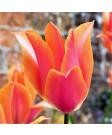Tulip 'Perestroyka' -50pk