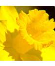 Narcissus 'Dutch Master' -50pk