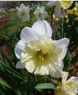 Narcissus 'Ice Follies' -50pk