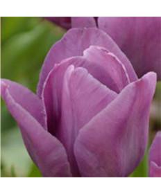Tulip 'Blue Aimable' -50pk