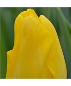 Tulip 'Golden Apeldoorn' -50pk