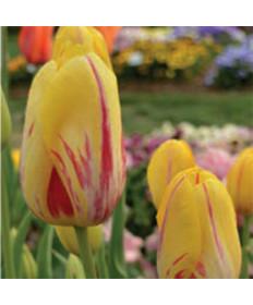 Tulip 'La Courtine' -50pk