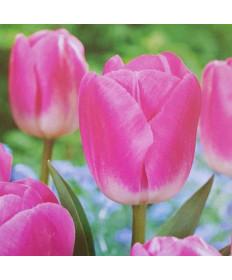 Tulip 'Sauterness' -50pk