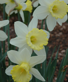 Narcissus 'Mount Hood' -50pk