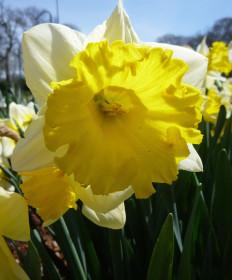 Narcissus 'Las Vegas -Pk of 50