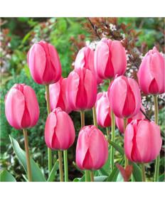 Tulip 'Trick' -50pk
