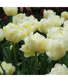 Tulip 'Verona' -50pk